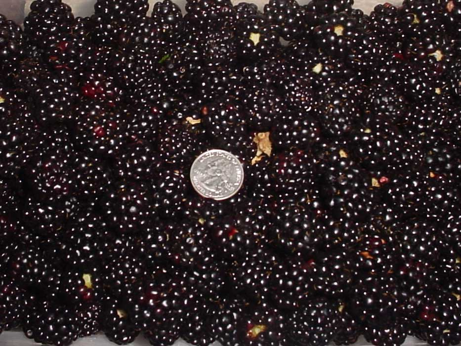 C&H Farms - Blackberries